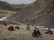 """Thị trường - Tiêu dùng - Ảnh: Thâm nhập """"mỏ vàng"""" đông trùng hạ thảo ở Tây Tạng"""
