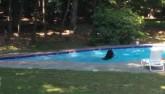 Mỹ: Nắng nóng kéo dài, gấu nâu mò vào bể bơi tắm