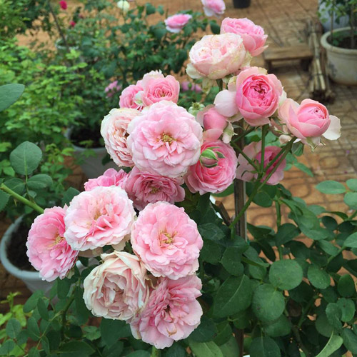 Ông bố 8X sở hữu vườn hồng rực rỡ 1000m2 - 3