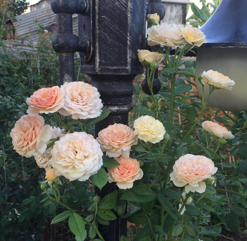 Ông bố 8X sở hữu vườn hồng rực rỡ 1000m2 - 7