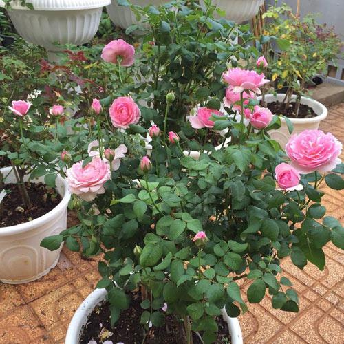 Ông bố 8X sở hữu vườn hồng rực rỡ 1000m2 - 9