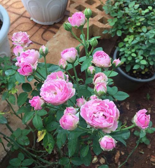 Ông bố 8X sở hữu vườn hồng rực rỡ 1000m2 - 10
