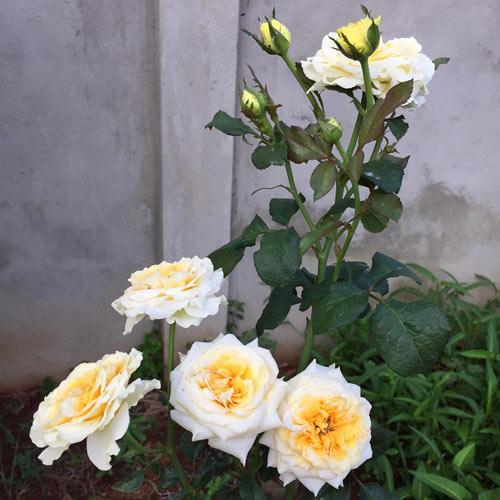 Ông bố 8X sở hữu vườn hồng rực rỡ 1000m2 - 11