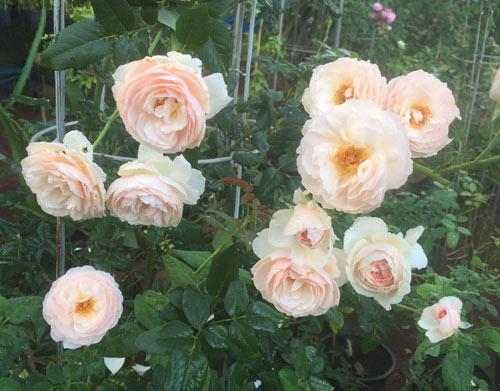 Ông bố 8X sở hữu vườn hồng rực rỡ 1000m2 - 12