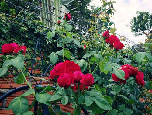 Ông bố 8X sở hữu vườn hồng rực rỡ 1000m2 - 13