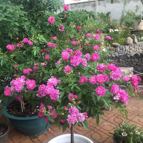 Ông bố 8X sở hữu vườn hồng rực rỡ 1000m2 - 14