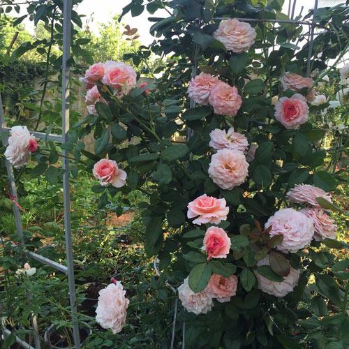 Ông bố 8X sở hữu vườn hồng rực rỡ 1000m2 - 1