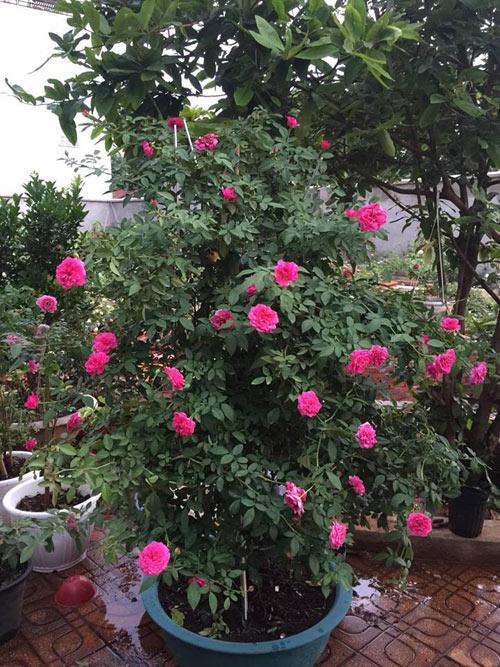 Ông bố 8X sở hữu vườn hồng rực rỡ 1000m2 - 2