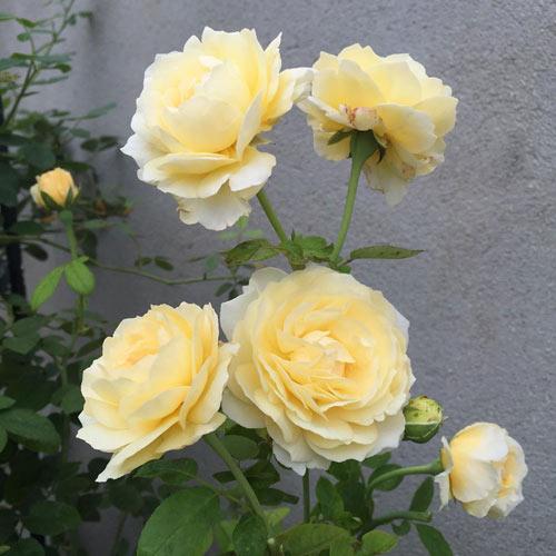 Ông bố 8X sở hữu vườn hồng rực rỡ 1000m2 - 4