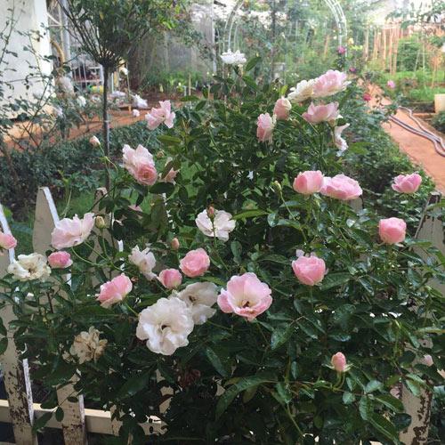 Ông bố 8X sở hữu vườn hồng rực rỡ 1000m2 - 5