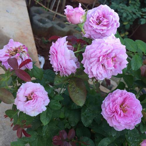 Ông bố 8X sở hữu vườn hồng rực rỡ 1000m2 - 6