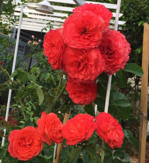 Ông bố 8X sở hữu vườn hồng rực rỡ 1000m2 - 8