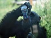 """Phi thường - kỳ quặc - Khỉ rủ """"hội nhậu"""", chế dụng cụ múc rượu từ thân cây"""