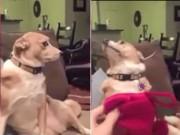"""Bạn trẻ - Cuộc sống - Clip: Màn """"chối tội"""" siêu dễ thương của chó cưng"""