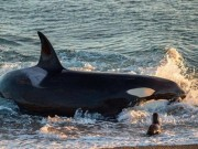 Thế giới - Cá voi sát thủ đồ sộ lao lên bờ bắt sư tử biển