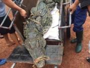 """Tin tức trong ngày - Cận cảnh cá sấu """"khủng"""" bắt được ở hồ câu nổi tiếng Hà Nội"""