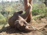 Phi thường - kỳ quặc - Trèo cây hái mít, voi khổng lồ chết thảm vì kẹt chân