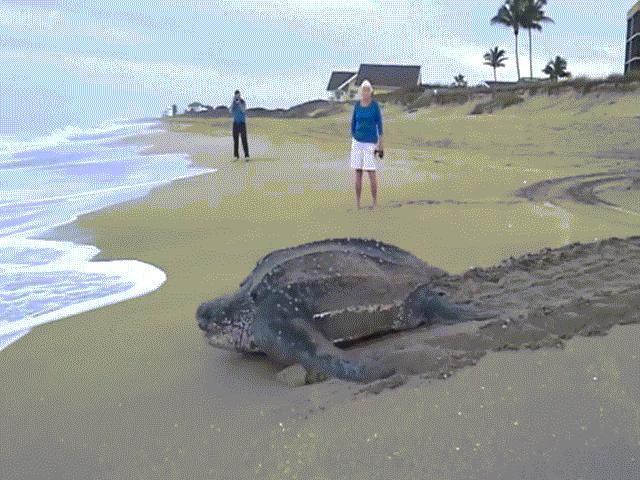 """TQ: Thả rùa khổng lồ cực hiếm về sông, nhận """"quà"""" bất ngờ - 3"""