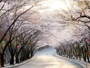 Du lịch - Chào tháng 4 nhẹ nhàng với những lễ hội hoa anh đào lớn nhất ở Hàn Quốc