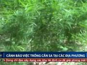 An ninh Xã hội - Cảnh báo trồng cần sa xen canh với rau ở các địa phương