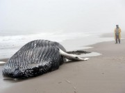 Thế giới - Mổ bụng cá voi khổng lồ bí ẩn dạt bờ biển Mỹ