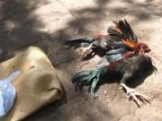 An ninh Xã hội - Giang hồ Sài Gòn bị bắt vì cướp gà của người bán dạo