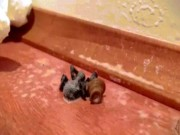 Phi thường - kỳ quặc - Xịt thuốc chết nhện độc, rùng mình thấy con vật từ bụng nhện bò ra