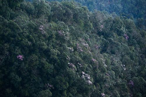 Tháng 4 về rồi, lên Sa Pa ngắm hoa đỗ quyên thôi - 4