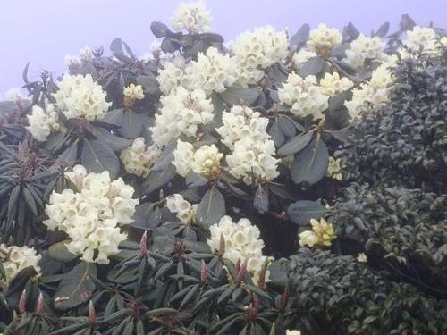 Tháng 4 về rồi, lên Sa Pa ngắm hoa đỗ quyên thôi - 5