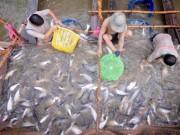 Thị trường - Tiêu dùng - Tính kế bền vững cho cá tra