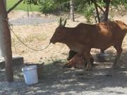 Nã súng vào bò của hàng xóm rồi xẻ thịt đem bán