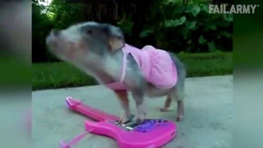 Clip hài: Ủ uôi, lợn gì mà nhìn như... HEO