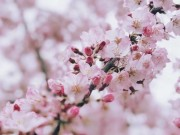 Đẹp nao lòng mùa hoa anh đào được giới trẻ Việt check-in rầm rầm