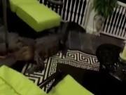 Phi thường - kỳ quặc - Cá sấu đang đêm trèo cầu thang, lao vào nhà dân cắn phá