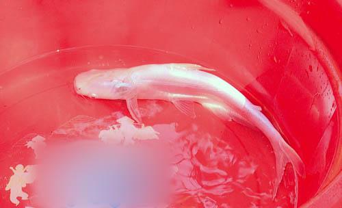 Nông dân miền Tây bắt được cá tra bạch tạng quý hiếm