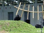 Tin tức trong ngày - Cận cảnh khu nuôi gấu bán tự nhiên đầu tiên của VN