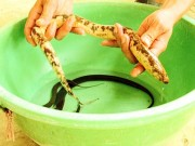 Tin tức trong ngày - Nông dân miền Tây bắt được lươn vàng óng, có đốm đen hiếm thấy