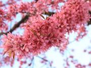 """Du lịch - 30/4, """"đưa nhau đi trốn"""" dưới con đường rực hồng hoa anh đào ở TQ"""