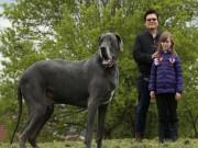 Chú chó khổng lồ như voi con, ăn 15kg thức ăn mỗi ngày