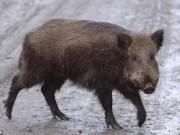Thế giới - 3 khủng bố IS bị... lợn rừng giết hại dã man