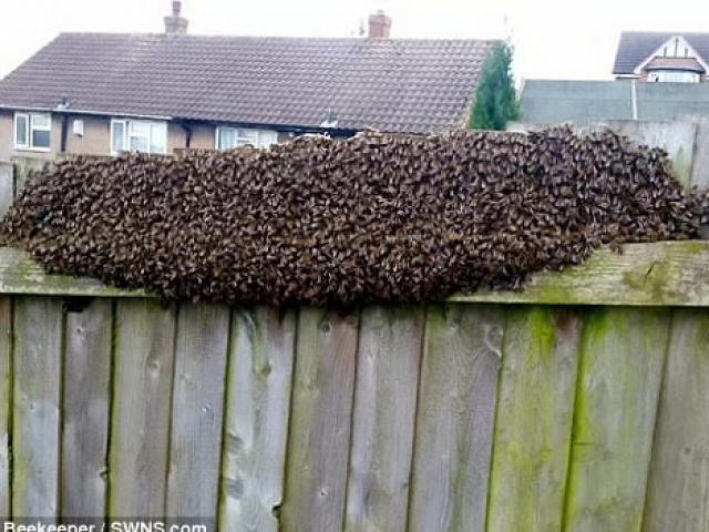 Đi chơi về, rùng mình thấy 12.000 con ong bu kín hàng rào