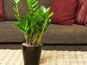 Sức khỏe đời sống - Trồng cây cảnh trong nhà có nguy hiểm?