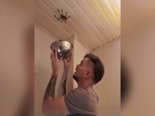 """Dùng bát """"úp sọt"""" nhện khổng lồ và cái kết rợn người"""