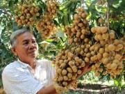 """Thị trường - Tiêu dùng - Lão nông Vĩnh Long trồng nhãn """"kháng lệnh trời"""", thu 2 tỷ đồng/năm"""