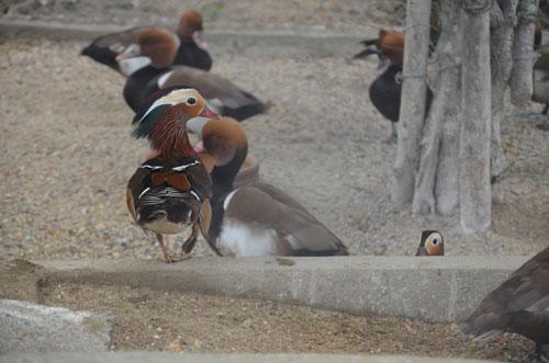 Cận cảnh loài vịt uyên ương quý hiếm, cực đẹp ở Hà Nội - 5