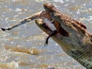 """Thế giới - Cá sấu khổng lồ đớp chết linh dương """"trong một nốt nhạc"""""""