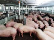 Thị trường - Tiêu dùng - Bộ Nông nghiệp kêu gọi giảm giá thức ăn chăn nuôi, hỗ trợ người nuôi lợn
