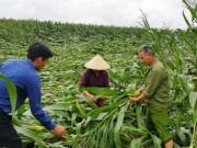 """Thị trường - Tiêu dùng - Nông dân trồng ngô sinh khối kiếm """"ối"""" tiền"""