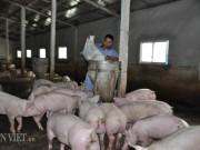 Thị trường - Tiêu dùng - Trung Quốc bắt đầu mua lợn trở lại, giá lợn miền Bắc tăng 3.000đ/kg