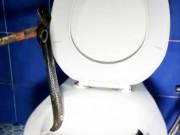 Phi thường - kỳ quặc - Video: Rắn hổ mang chiếm cứ toilet trừng mắt nhìn người